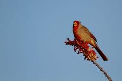 红雀, Cardinalis sinuatus 库存照片