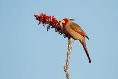 红雀, Cardinalis sinuatus 免版税图库摄影
