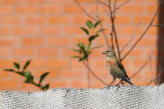 红雀 与一个红色乳房的一只小的鸟 免版税图库摄影
