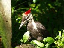 红顶啄木鸟 库存图片