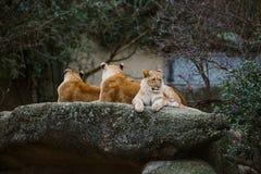 红颜色三只非洲雌狮基于一块石头在市的动物园里巴塞尔在瑞士在多云天气的冬天 免版税库存照片