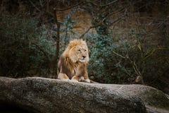 红颜色三只非洲雌狮基于一块石头在市的动物园里巴塞尔在瑞士在多云天气的冬天 库存图片