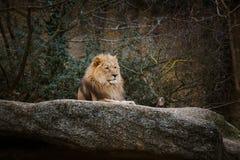 红颜色三只非洲雌狮基于一块石头在市的动物园里巴塞尔在瑞士在多云天气的冬天 免版税图库摄影
