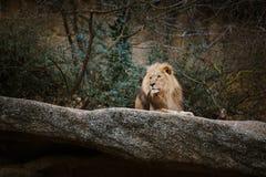 红颜色三只非洲雌狮基于一块石头在市的动物园里巴塞尔在瑞士在多云天气的冬天 免版税库存图片