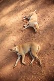 红颜色两只大流浪狗  免版税库存图片