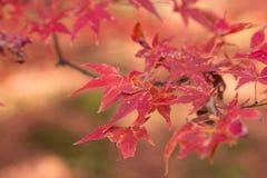红颜色叶子在日本秋天 库存图片