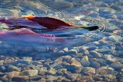 红鲑鱼产生,浅小河 免版税图库摄影