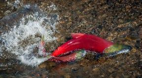 红鲑鱼配对-联接的比赛飞溅 库存照片