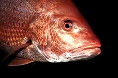 红鲷鱼 免版税库存图片