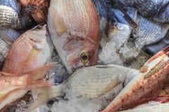 红鲷鱼 免版税库存照片