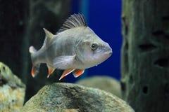 红鳍淡水鱼栖息处 库存照片