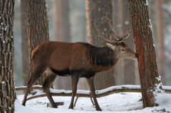 红鹿在冬天森林里 免版税库存照片