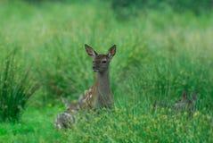 红鹿,小牛 免版税库存照片