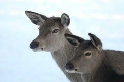红鹿 免版税库存图片