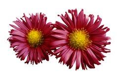 红黄色雏菊花在白色的隔绝了背景 设计的两棵春黄菊 在视图之上 特写镜头 免版税库存照片