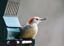 红鼓起的啄木鸟,与在额嘴的向日葵种子,为飞行准备 免版税库存照片