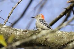 红鼓起的啄木鸟,乔治亚,美国 库存图片