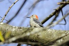红鼓起的啄木鸟,乔治亚,美国 免版税库存图片