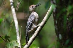 红鼓起的啄木鸟 库存图片