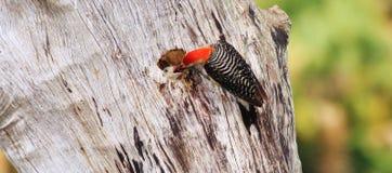 红鼓起的啄木鸟 库存照片