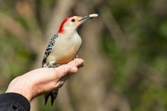 红鼓起的啄木鸟- Melanerpes carolinus 免版税库存图片