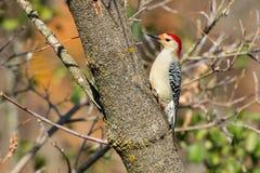红鼓起的啄木鸟- Melanerpes carolinus 图库摄影