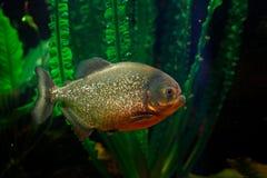 红鼓起的比拉鱼, Pygocentrus altus,危险鱼在与绿色水植被的水中 浮动食肉动物本质上 库存照片
