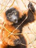 红鼓起的狐猴(Eulemur rubriventer) 免版税图库摄影