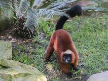 红鼓起的狐猴(Eulemur rubriventer) 免版税库存图片