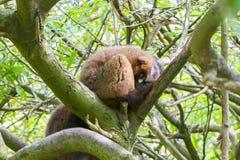 红鼓起的狐猴(Eulemur rubriventer) 库存照片