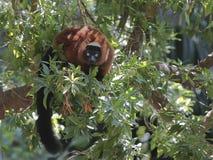 红鼓起的狐猴(Eulemur rubriventer) 库存图片