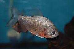 红鼓起的pacu淡水水族馆鱼 库存照片