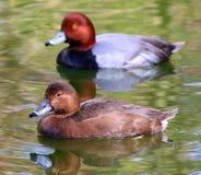 红头发人夫妇低头母鸭子 免版税库存照片