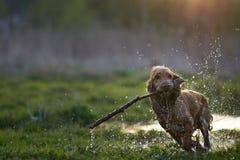 红头发人跑用棍子的西班牙猎狗狗 免版税图库摄影