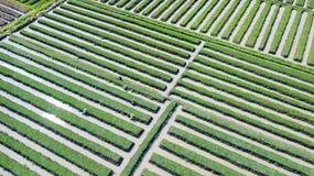 红洋葱农夫在农田里 免版税库存图片