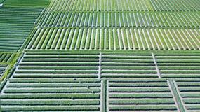 红洋葱农田和农夫 库存照片
