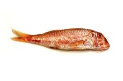 红鲻鱼 免版税库存图片