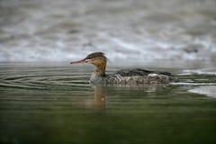 红breasted秋沙鸭, Mergus serrator 图库摄影