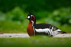 红breasted鹅,黑雁ruficollis,坐在紫罗兰色花 从自然的野生生物动物场面 在开花的草的鸭子 是 免版税库存照片