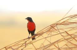 红breasted黑鸟雀形目鸟militaris 免版税库存照片