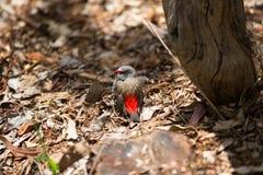 红browed firetail雀科,澳大利亚 免版税图库摄影