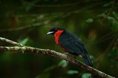 红ruffed Fruitcrow, Pyroderus scutatus,异乎寻常的罕见的热带海鸟在自然栖所,深绿森林, Otun,哥伦比亚 Birdwa 免版税库存图片