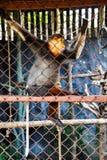 红Shanked Douc叶猴 免版税库存图片
