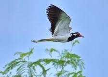 红wattled田凫欧亚田凫类Indicus鸟涂了它的翼庄严地,它飞行在蕨树 免版税图库摄影