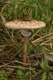 纤巧伞菌 库存照片