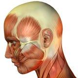 纤维顶头肌肉侧视图 免版税库存图片