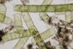 纤维状淡水海藻Spirogyra被毁坏的结构  免版税库存照片