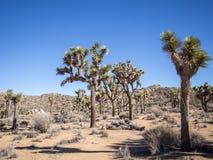 约书亚国家公园结构树 图库摄影