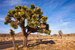 约书亚大结构树 免版税图库摄影
