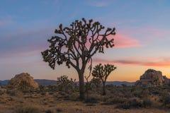 约书亚日落结构树 库存图片
